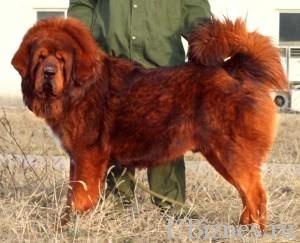 Самая дорогая собака в мире - красный тибетский мастиф.