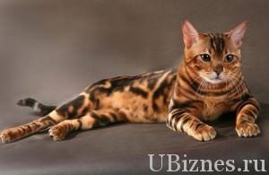 Бенгальская кошка - 3000 – 25000 долларов – 3 место