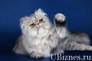 Персидская кошка – 1000-6000 долларов – 5 место