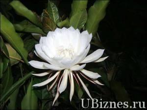 """цветок Кадупул или """"Королева ночи"""""""