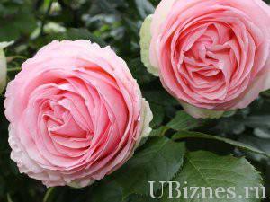 """роза """"Пьер де Ронсар"""" (Эден Роуз) - 20,5 долларов"""