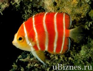 Красная рыбка в белую полоску